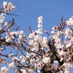 春を呼ぶ「梅花祭」が始まりました
